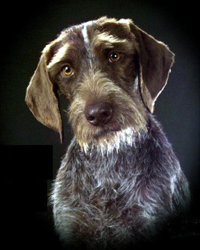 German-wirehaired-pointer-3